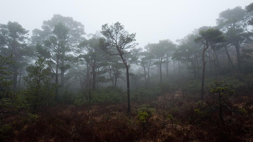 Tåkeskog